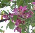 宫粉紫荆_360百科 - 草根花农 - 得之淡然、失之泰然、顺其自然、争其必然