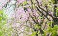 宫粉紫荆将成广州新名片(组图)_网易新闻 - 草根花农 - 得之淡然、失之泰然、顺其自然、争其必然