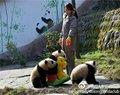 激萌!奶妈收走玩具小马大熊猫福顺怒而打滚|大熊猫|国宝|福顺_新浪... - 草根花农 - 得之淡然、失之泰然、顺其自然、争其必然