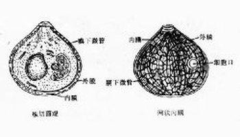 裂体生殖_裂殖子 某些原生动物无性生殖过程中的产物.