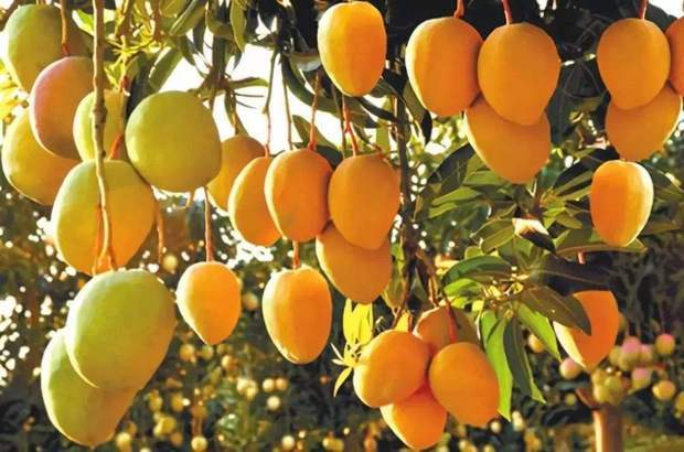 夏天芒果好卖吗?