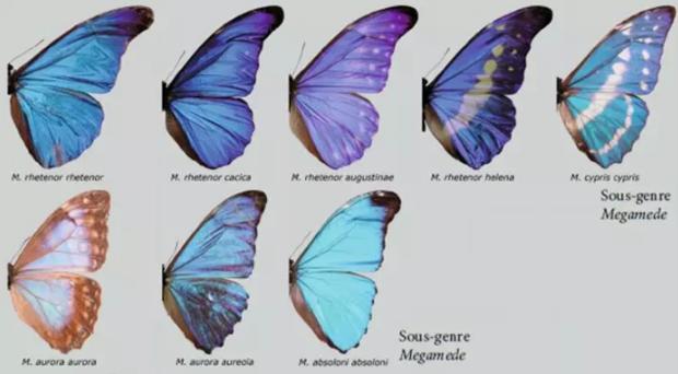蓝闪蝶特征(最好详细点)(图6)