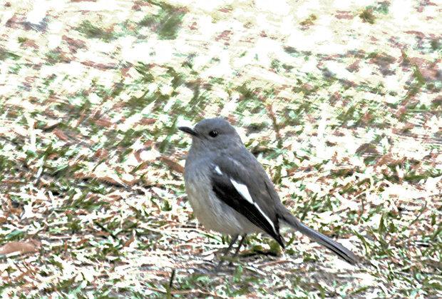 鸟的体形比麻雀少大一点全身羽毛是近似烟灰色翅膀羽毛带少量黑色及白色