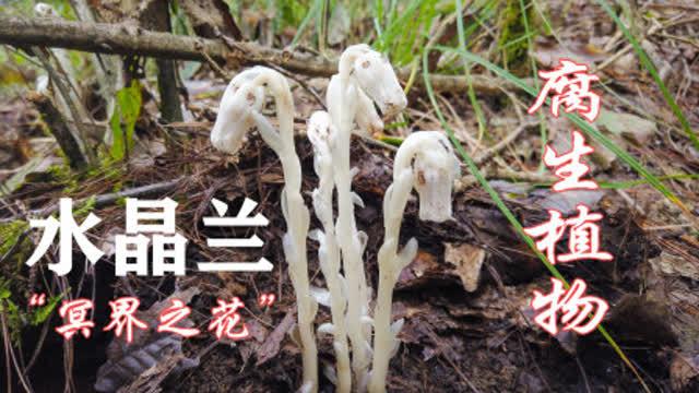 腐生 植物