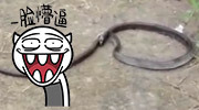 """泰国这条蛇""""自杀""""身亡"""