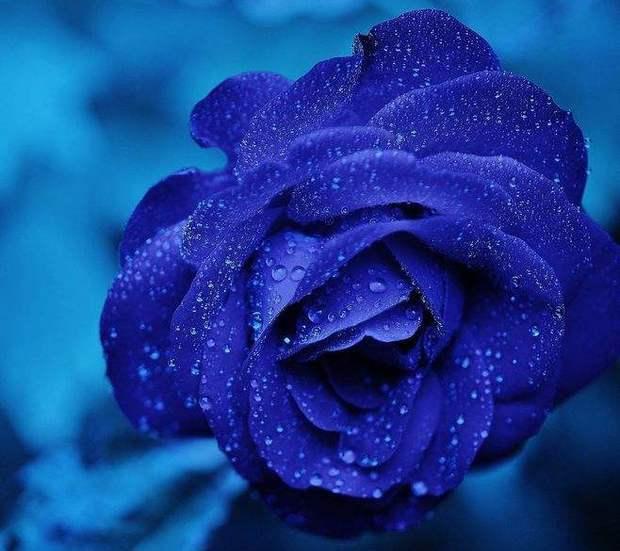 蓝玫瑰开放的时短吗长
