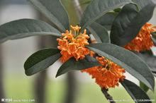 春天桂花树的叶子是什么样子的