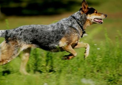 澳洲牧牛犬的形态特征能在恶劣环境下工作0