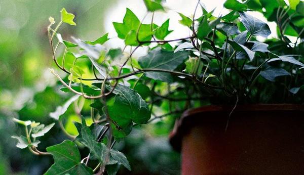 植物除甲醛,到底有没有作用啊?