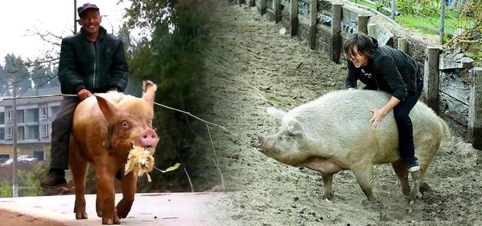 男子出门遛猪突然跳上猪背