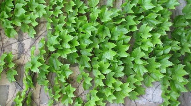 河边防护坡栽什么爬藤植物(图1)