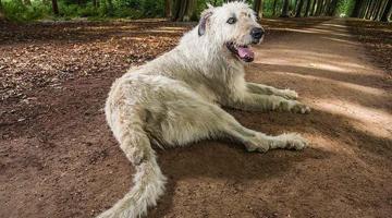 世界上尾巴最长的狗竟能晾衣服