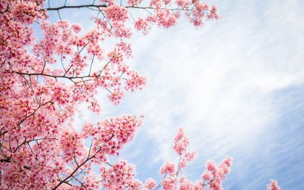 日本的樱花现在开了吗?