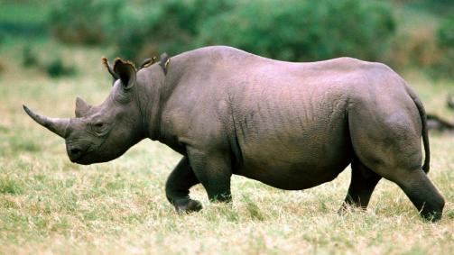 犀牛是草食系很凶的动物对吗?