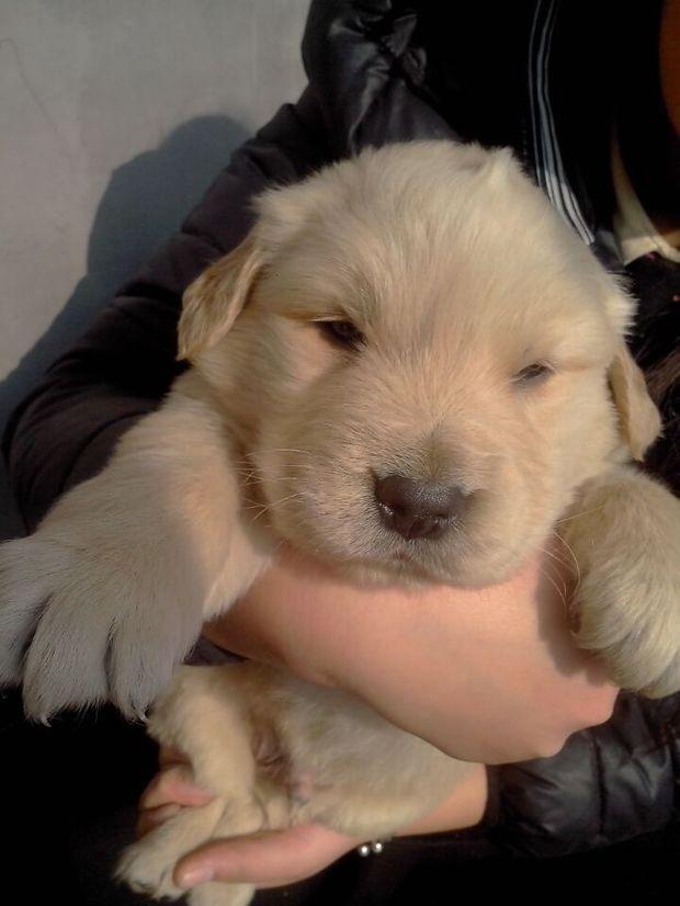松狮犬怎么看纯种_怎么看金毛幼犬长大后的颜色和是否纯种呢_题库