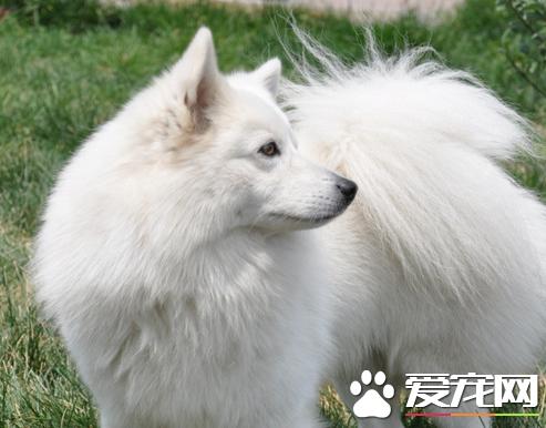 银狐犬几岁脱牙 出生后3-5周小狗长牙